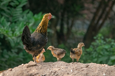 Mother chicken or hen with chicks in a village in rural Bihar, India