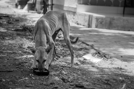 Photo of a thin skinny stray Indian street dog eating food in an urban city in Maharashtra, India, in black and white
