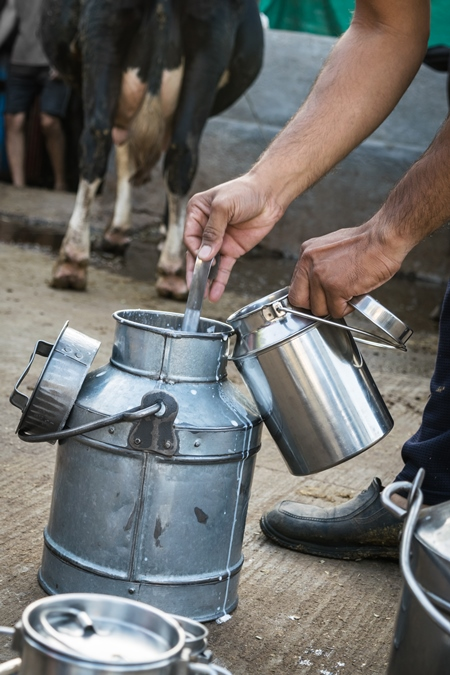 Man pouring Indian cow dairy milk by hand into a silver metal dairy can or bucket in an urban dairy with cow in background in Pune in Maharashtra, India, 2018