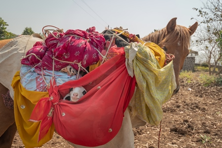Working Indian horse or pony carrying household items including baby goats and sheep owned by nomads in rural Maharashtra