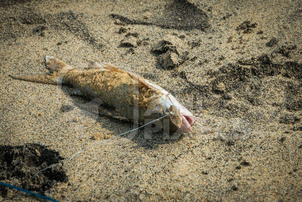 Alive fish with hook in mouth gasping on a sandy beach in Kerala