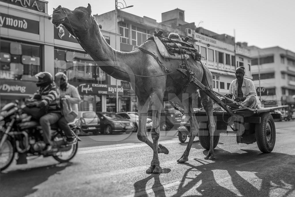 Camel in harness pulling cart with man in urban city street