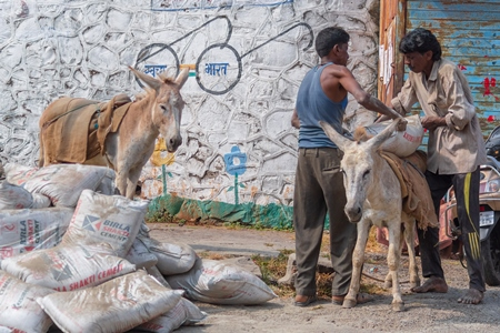 Men with working Indian donkeys used for animal labour to carry heavy sacks of cement in an urban city in Maharashtra in India
