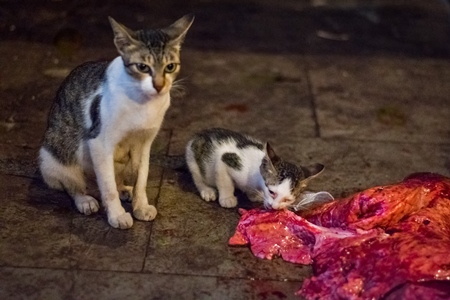 Street or stray cat and kitten  eating piece of meat in Crawford meat market, in Mumbai, India