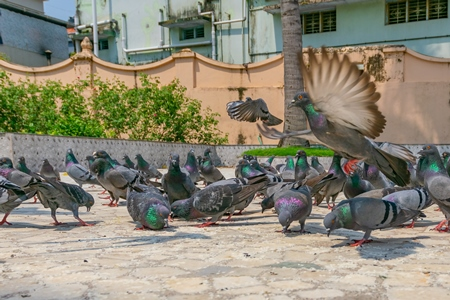 Flock of Indian pigeons in the courtyard of a temple in Kerala in India
