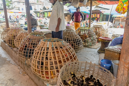 Many woven baskets containing ducks, pigeons, chickens and other birds on sale at a live animal market in the city of Imphal in Manipur in the Northeast of India
