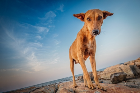 Orange Indian street dog standing on rocks on the beach with blue sky background in Maharashtra, India