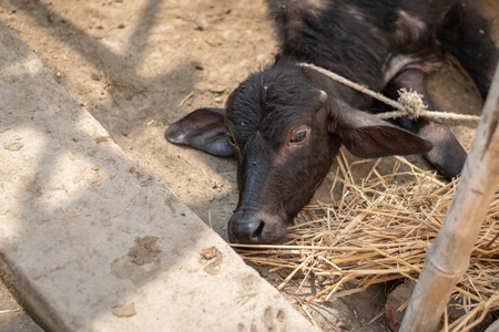 Baby buffalo calf tied up alone away from mother in village in rural Bihar