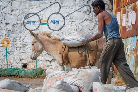 Working Indian donkey used for animal labour walking along and carrying heavy sack of cement in an urban city in Maharashtra in India