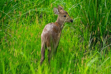 Small brown Indian hog deer in green vegetation at Kaziranga National Park in Assam in India