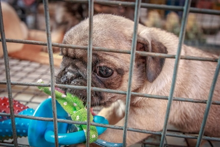 Small pug pedigree breed puppy in cage on sale as a pet at Crawford pet market in Mumbai, India