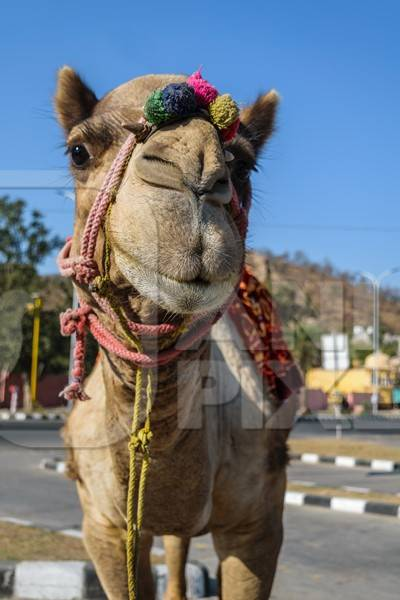 Camel in harness used for tourist rides
