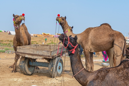 Indian camels at Pushkar camel fair or mela, Pushkar, Rajasthan, India, 2019