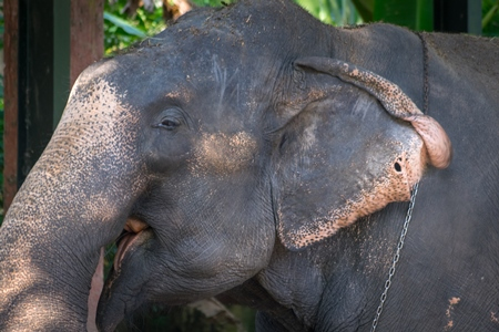 Captive elephant with hole in the ear possibly caused by an ankush hook at an elephant camp in Guruvayur in Kerala to be used for temples and religious festivals