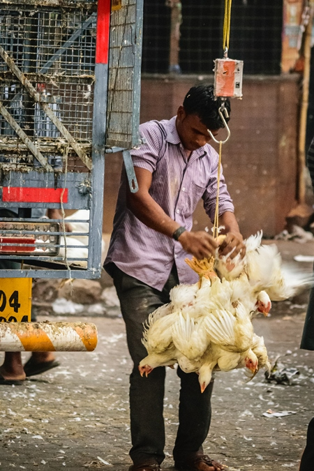 Indian broiler chickens in a bunch upside down tied with string near Crawford meat market in urban city of Mumbai, 2016