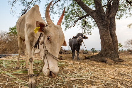 Working Indian bullock or cow used for animal labour tied up with nose rope on a farm in rural Maharashtra, India, 2021