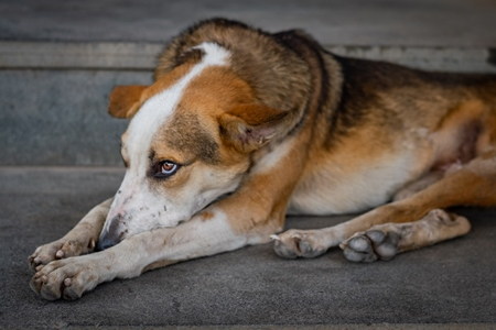 Sad stray Indian street dog or Indian pariah dog, India