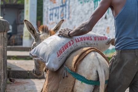Working donkeys with man walking behind used for animal labour to carry heavy sacks of cement in an urban city in Maharashtra in India