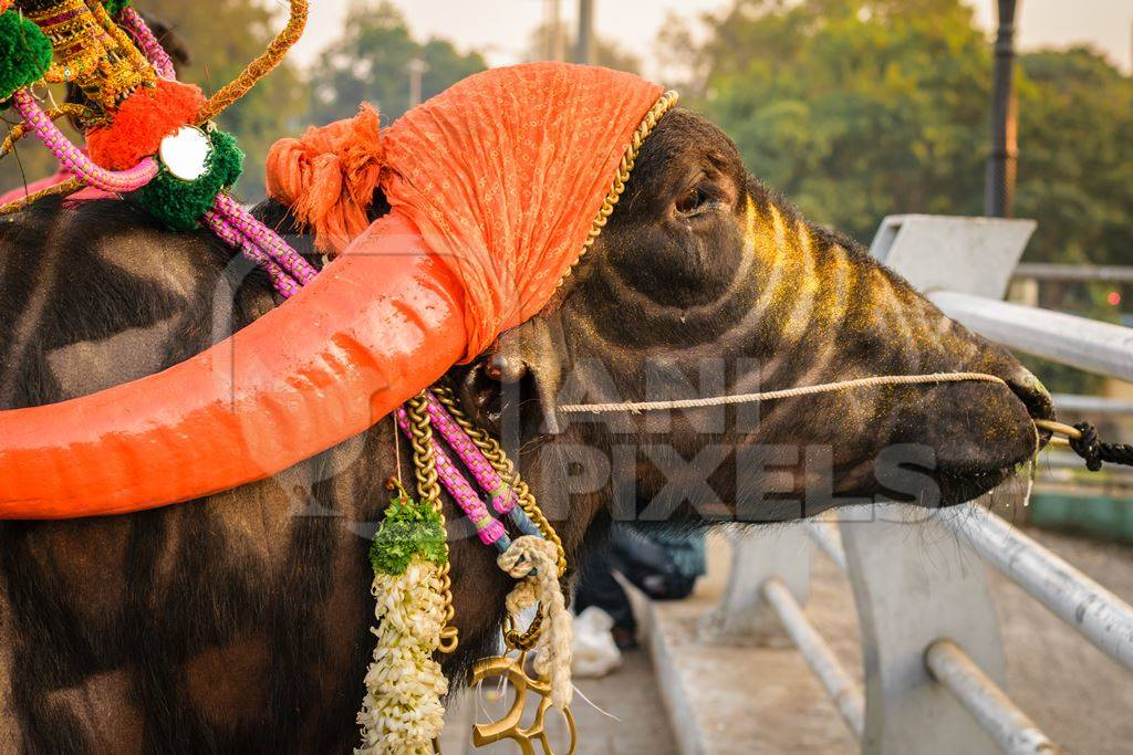 Decorated and colourful buffalo with large orange horns for local religious festival with man walking through street