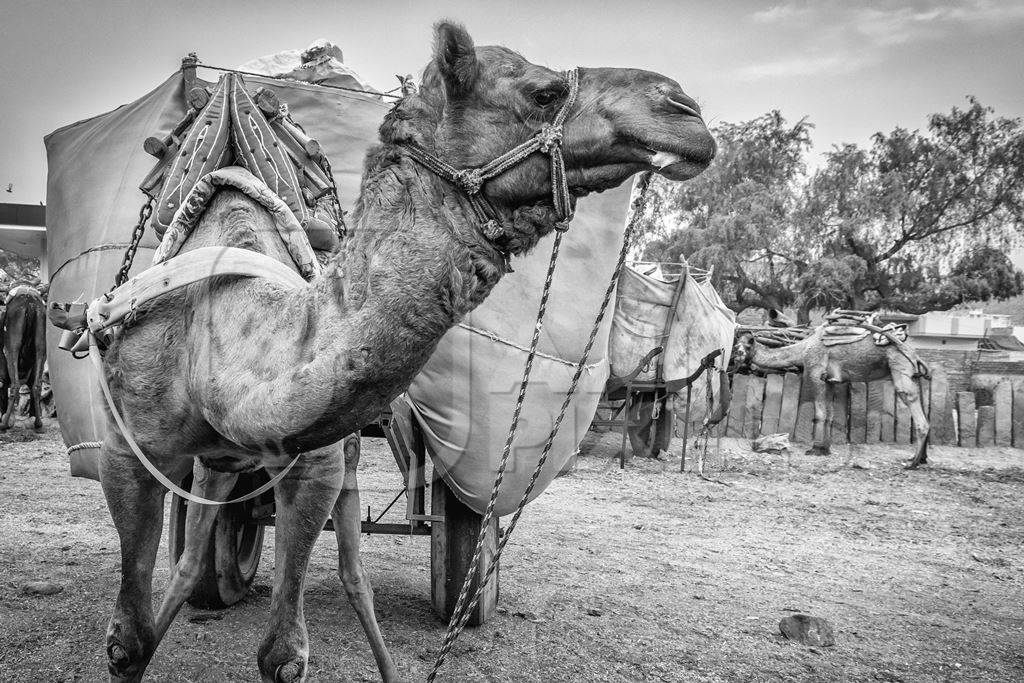 Working camel overloaded with large load on cart in Bikaner in Rajasthan in black and white