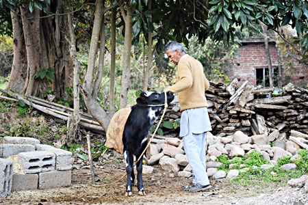 Farmer with small calf in rural dairy