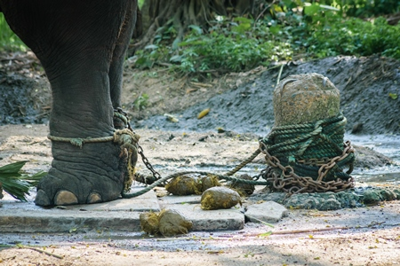 Elephant chained and tied with rope at Guruvayur elephant camp, used for temples and religious festivals in Kerala