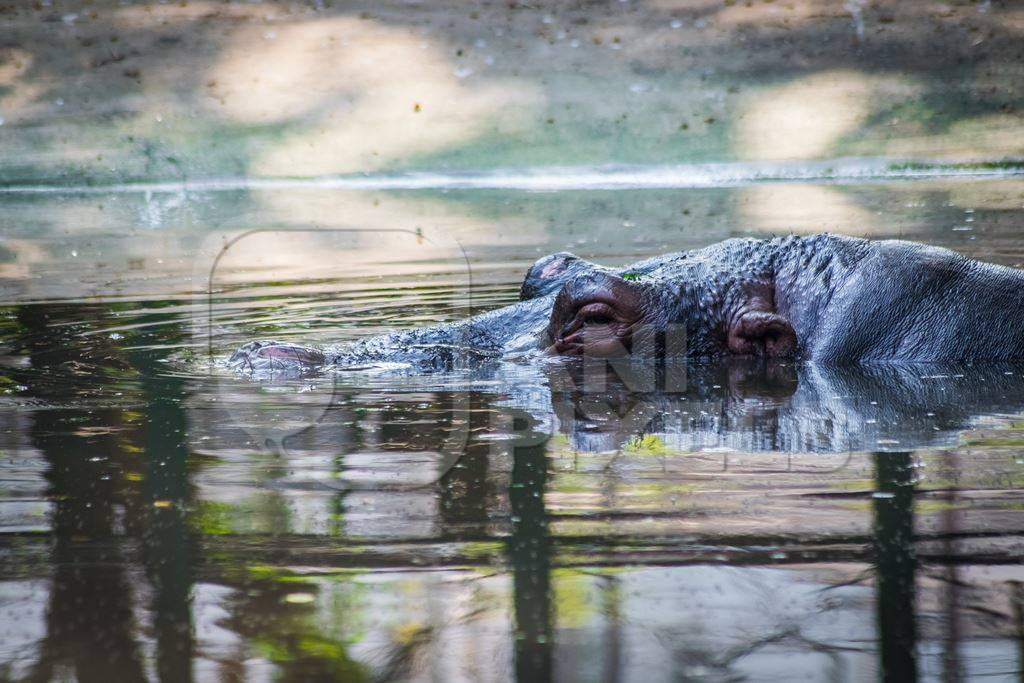 Hippo submerged in concrete pool in Byculla zoo