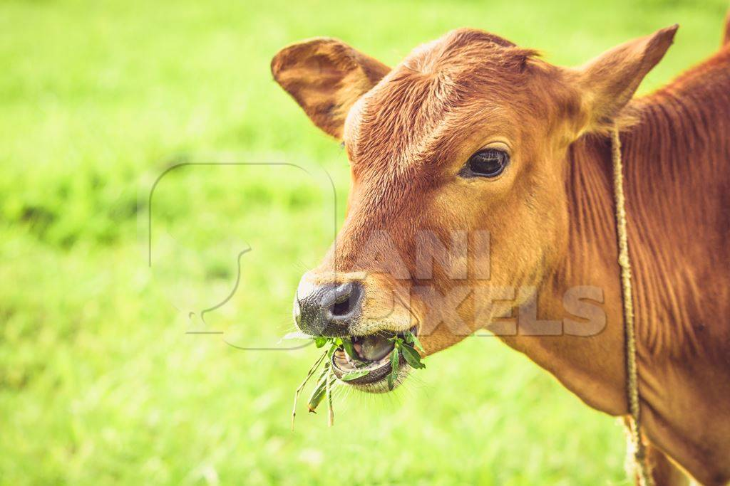 Brown calf eating grass with green field background in village