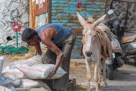 Man picking up sacks to load on working donkey used for animal labour to carry heavy sacks of cement in an urban city in Maharashtra in India