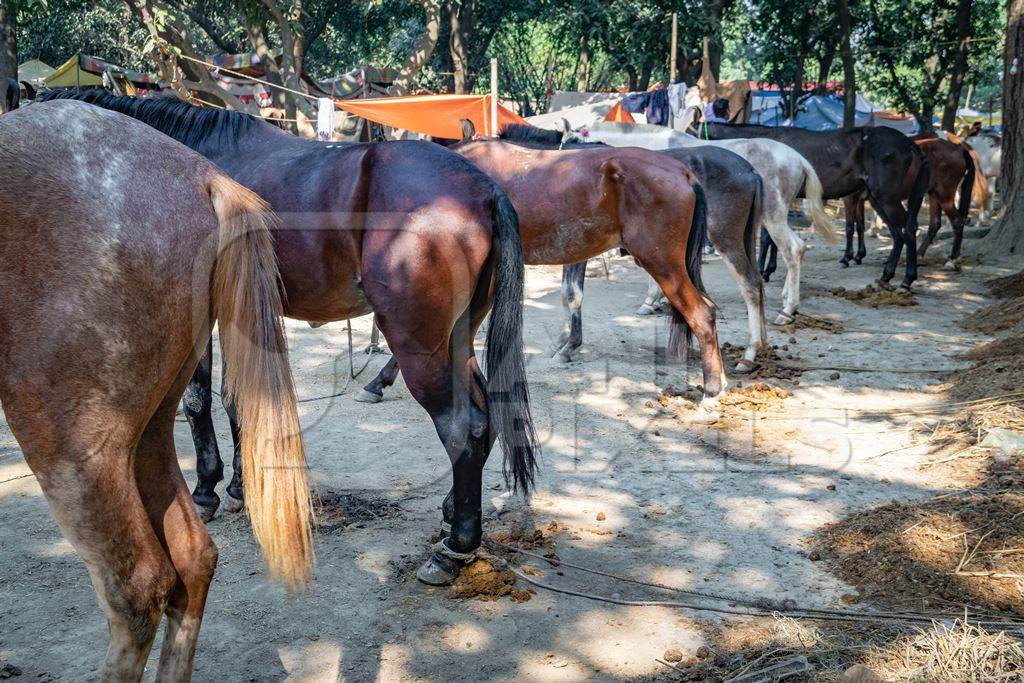 A row of  horses tied up in a line in a muddy field at Sonepur horse fair