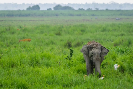 Wild Indian elephant in the green grass at Kaziranga National Park in Assam