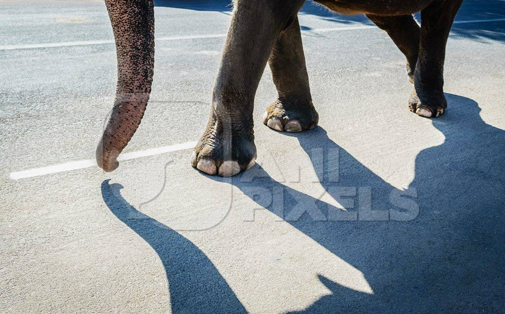 Elephant and shadow used for entertainment tourist ride walking on street in Jaipur