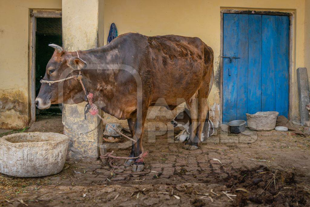Dairy cow and calf on a rural farm with a blue door in a village in  Uttarakhand