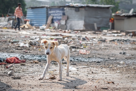 Indian street or stray puppy dog in a slum area with garbage in an urban city in Maharashtra in India