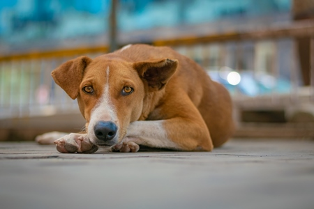 Brown Indian street or stray dog lying on the ground in an urban city in Maharashtra in India