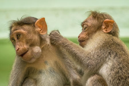 Two cute macaque monkeys sitting together with green background in Kerala