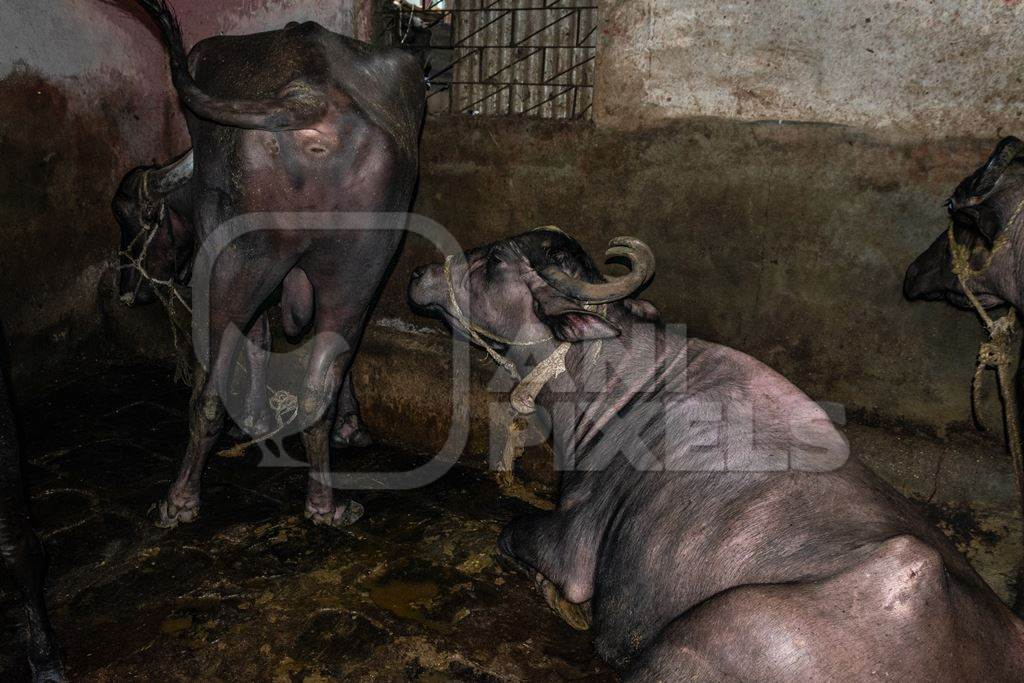 Farmed buffaloes chained up in a dark underground basement in a dirty urban dairy