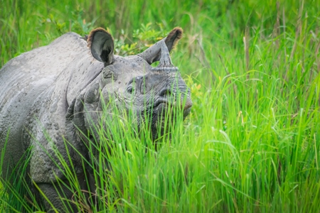 Indian one horned rhino wild animal in the green grass seen on safari at Kaziranga national park in Assam, India