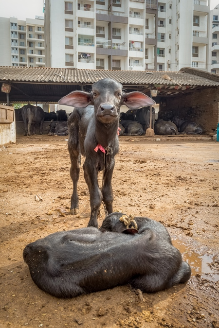 Farmed Indian buffalo calves  on a large urban dairy farm in a city in Maharashtra, India