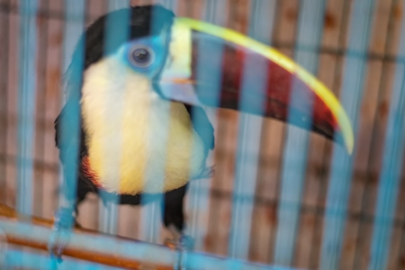 Toucan exotic bird in cage on sale at Crawford pet market in Mumbai, India