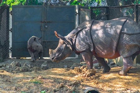Captive Indian one horned rhino with baby calf  at Sanjay Gandhi Jaivik Udyan zoo in Patna, Bihar in India