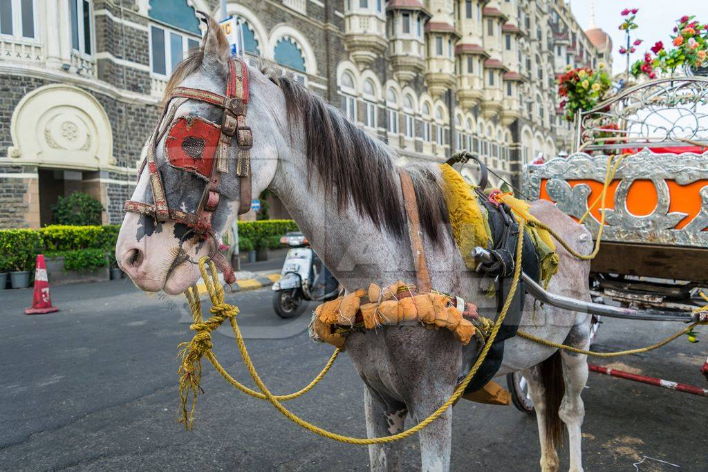 Horse used for carriage rides in Mumbai