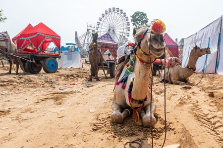 Indian camels harnessed to decorated carts to give tourist rides at Pushkar camel fair in Rajasthan in India, 2019