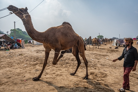 Camel with leg tied up and hit to train it to dance at Pushkar camel fair