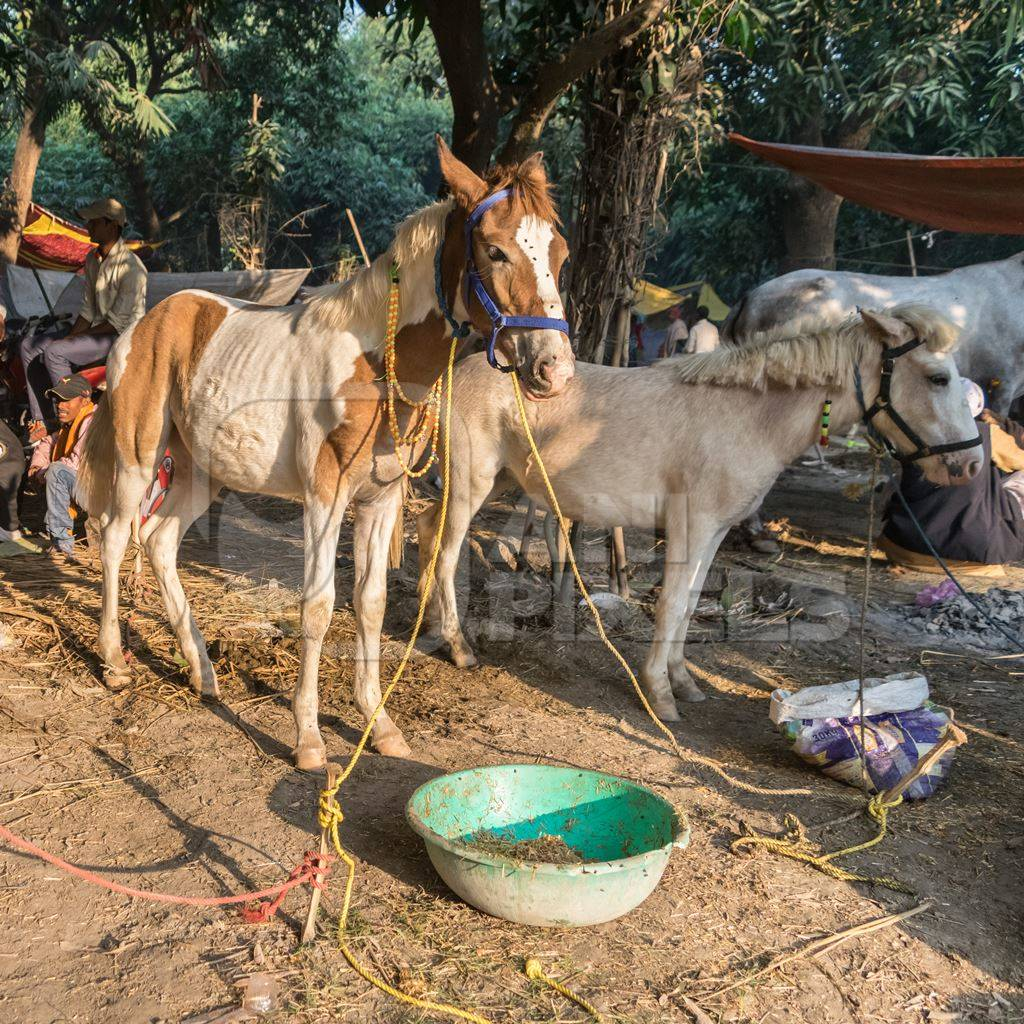 Two ponies tied up under a tree at Sonepur horse fai