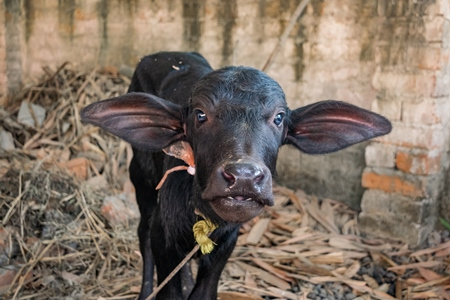 Small sad Indian buffalo calf tied up on a dairy farm in Bihar, India, 2017