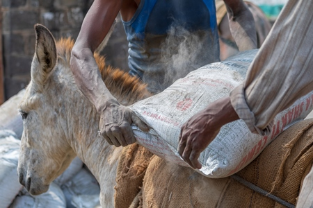Close up of working Indian donkey being loaded with sacks used for animal labour to carry heavy sacks of cement in an urban city in Maharashtra in India