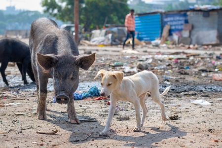 Indian street or stray puppy dog and urban or feral pigs in a slum area in an urban city in Maharashtra in India