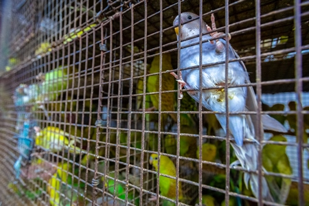 Colourful budgerigar or budgie birds on sale as pets in cage at Crawford pet market in Mumbai, India