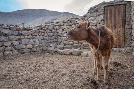 Indian dairy cow calf on a farm in Ladakh in the mountains of the Himalayas